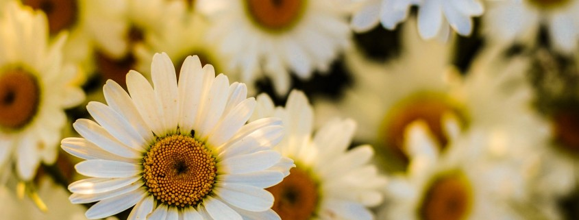 flowers-marguerites-oxeye-daisies